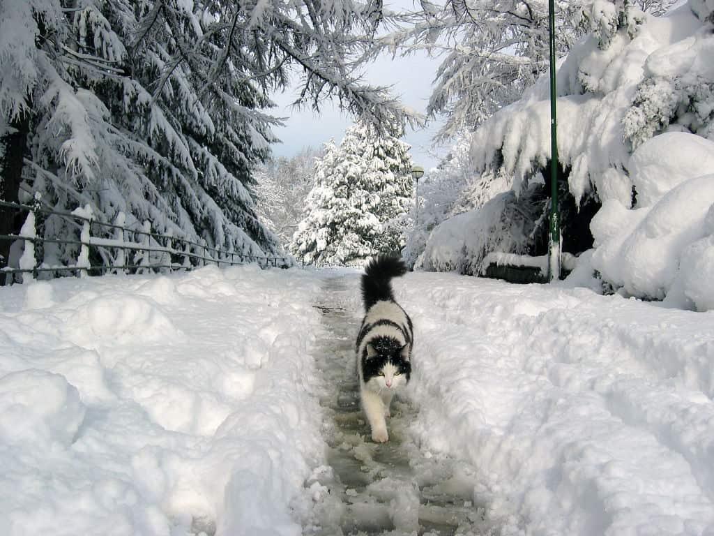 cat walking in the winter