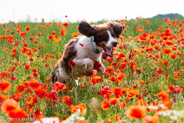 Springer spaniel jumping through field of red flowers