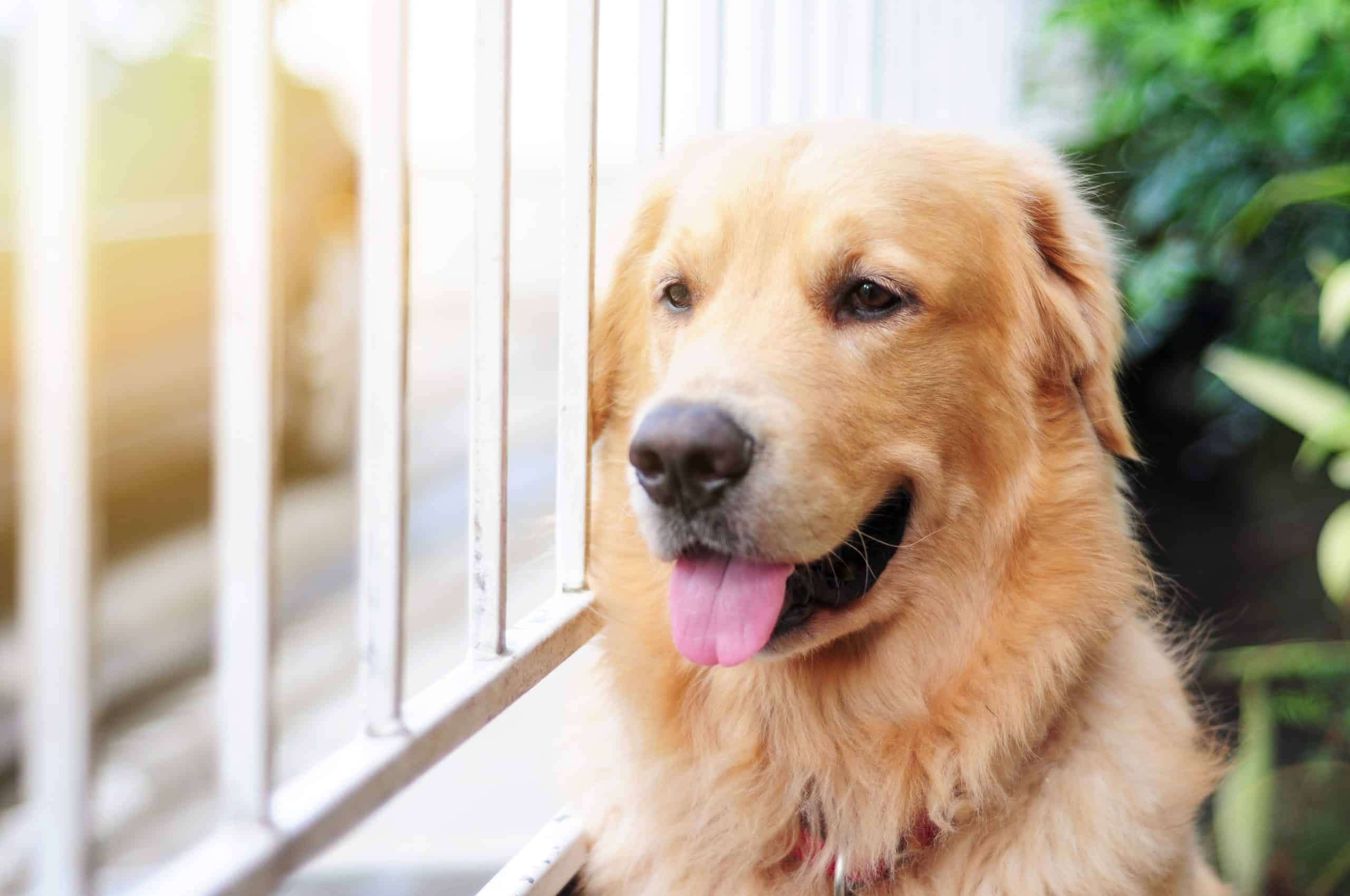 golden retriever waiting by fence